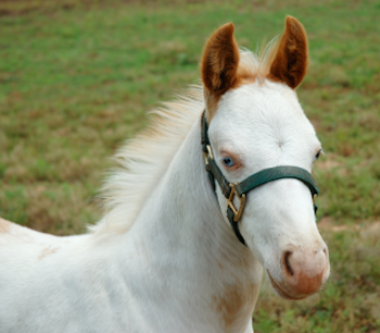 Pete, the once-wild colt