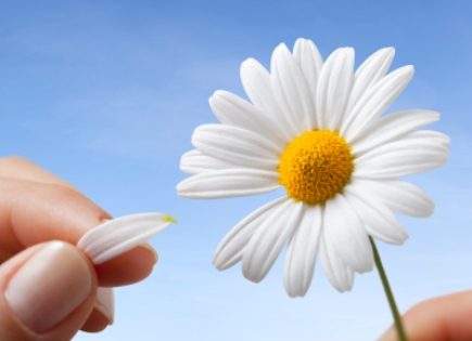 "A petal pulled from a daisy, playing the game, ""He Loves Me, He Loves Me Not."""