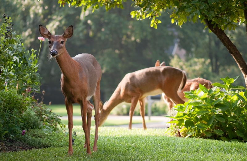 a group of deer in a front yard