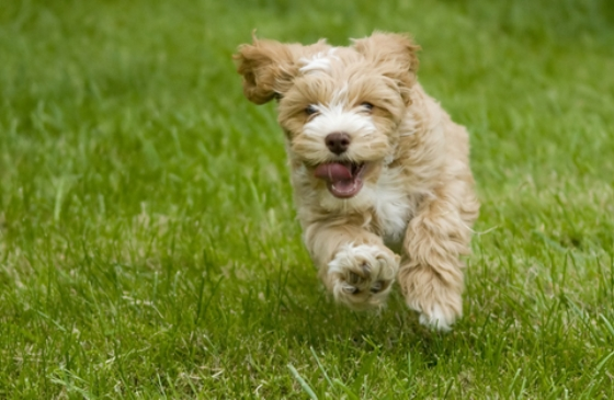 cockapoo running in the grass