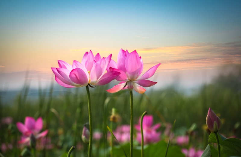 gorgeous photo of lotus flowers blooming