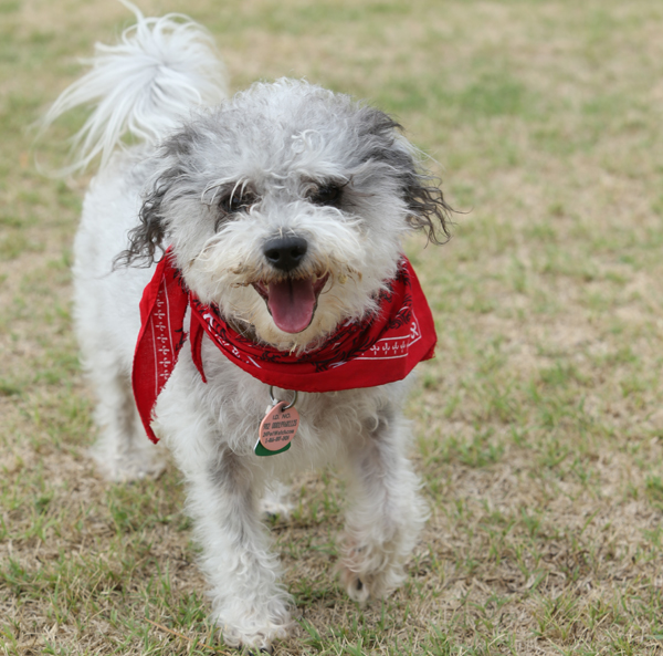 Guideposts: Homer the amazing Maltese mix