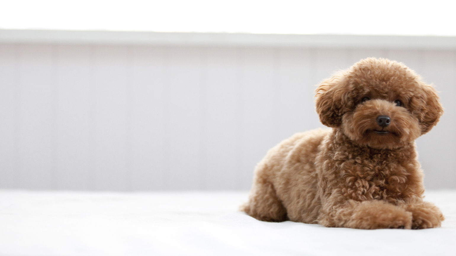 A chocolate, teacup poodle posing for the camera.