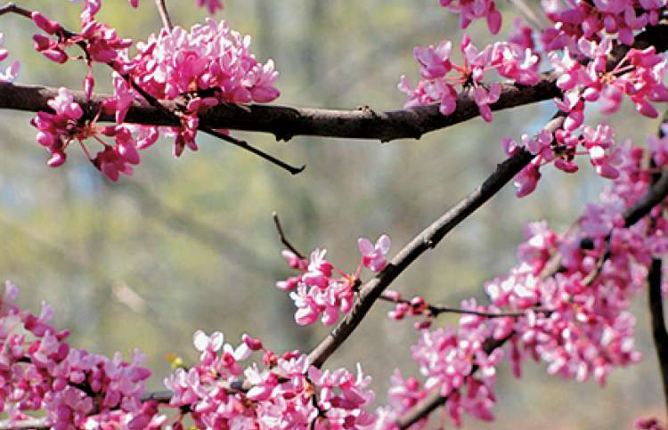 Mary's photograph of pink spring blossoms