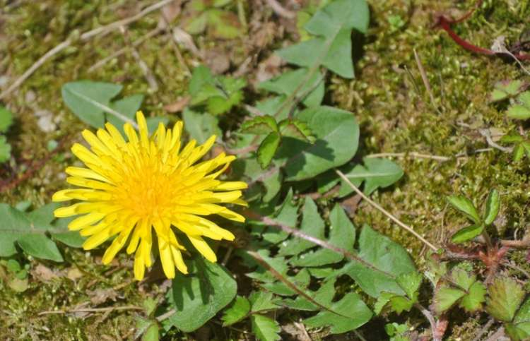 A dandelion in the weedy garden of a military family