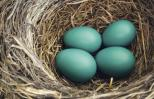 Blue eggs in a nest. Photo: Thinkstock.