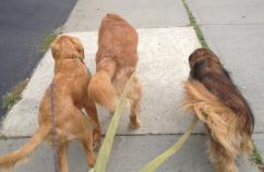 And away we go! Peggy's three dogs on a walk.