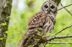 Guideposts: A barred owl in the woods in Athens, Georgia.