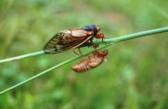 Magicicada - 17 year cicada emerging from skeleton is a lesson for change