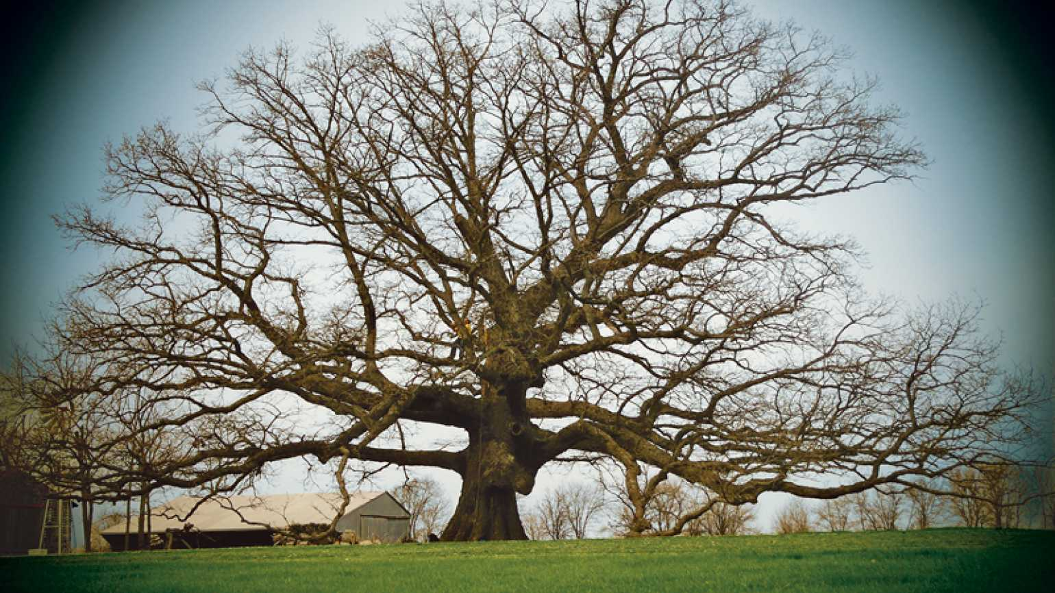 A photograph of a giant tree