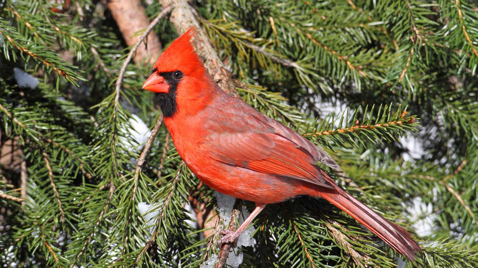 A Valentine red cardinal bird perched on a pine tree branch.