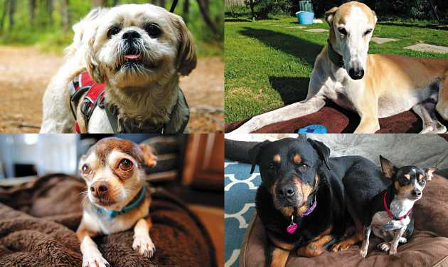 Four success stories from Susie's Senior Dogs