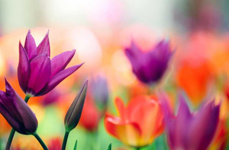 Red, yellow, and purple blooming tulips