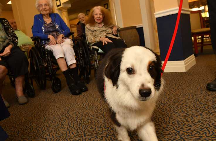 Jack, a Miniature Australian Shepherd who serves as a therapy dog for the seniors at Gulf Coast Village