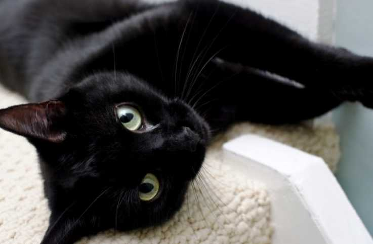 Ralph, a stray black cat relaxes indoors.