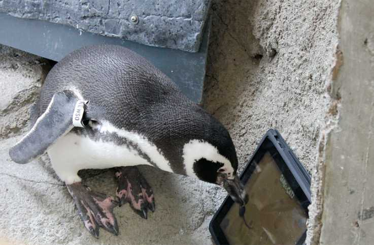 A penguin uses its beak to manipulate a touch screen.