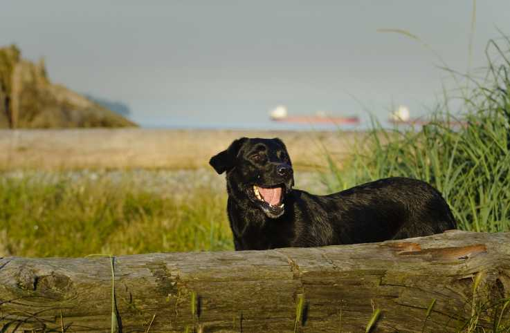 A black lab on a beach landscape.
