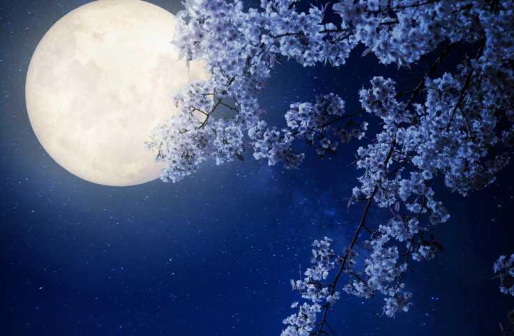 Beautiful cherry blossom (sakura flowers) with Milky Way star in night skies, full moon