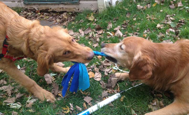 Labor Day Activities: Zeke and Ike compete in a friendly game of tug-of-war.