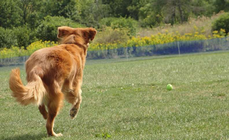 Labor Day Activities: Ike sprints across an open field after a tossed tennis ball, just for the joy it brings.