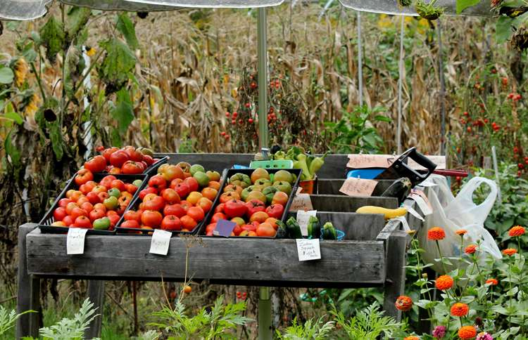 Locally grown tomatoes and squash are the featured wares at this roadside produce stand.