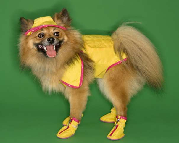 pomeranian in yellow doggy booties