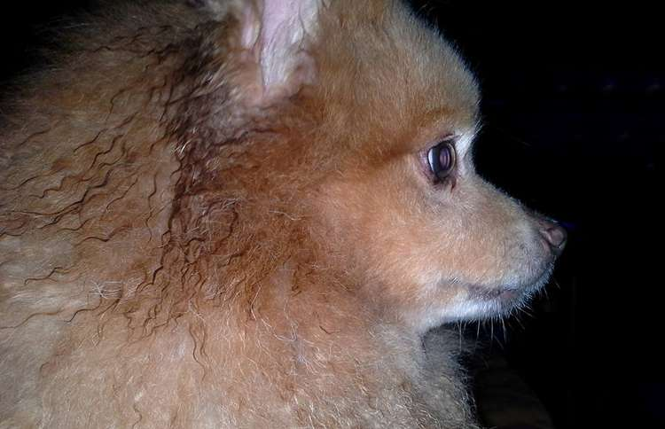 Guideposts: Renee G.'s Pomeranian, Stanley, saved Renee and her husband's life one night.