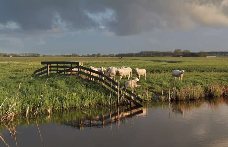 sheep grazing in a green pasture near still water, inspired by Psalm 23