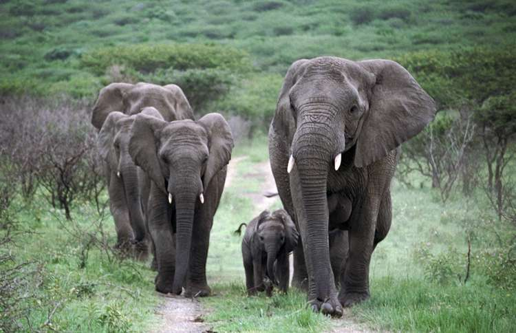 Guideposts: a herd of wild elephants who Lawrence adopted when they were about to be put to death