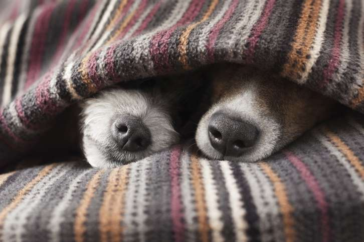 Guideposts: Two small dogs snuggle under a throw, with just their snouts sticking out