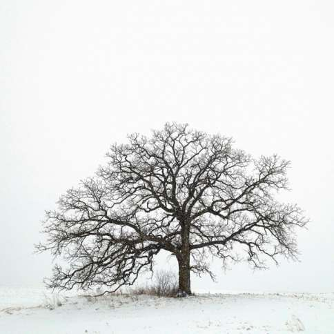 Guideposts: Mark Hirsch's oak tree, shrouded in snow