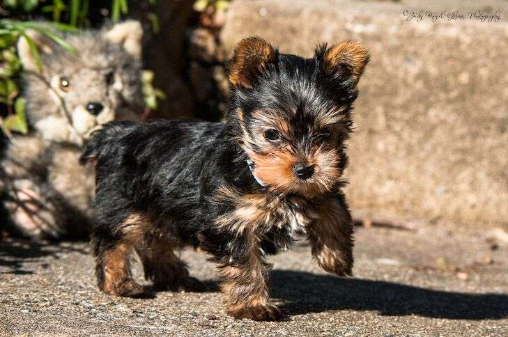 Guideposts: Ginger, a Yorkshire terrier puppy, takes her first steps outdoors while being watched by one of her favorite toys.