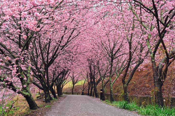 Guideposts: A winding lane is sheltered by flowering cherry trees.
