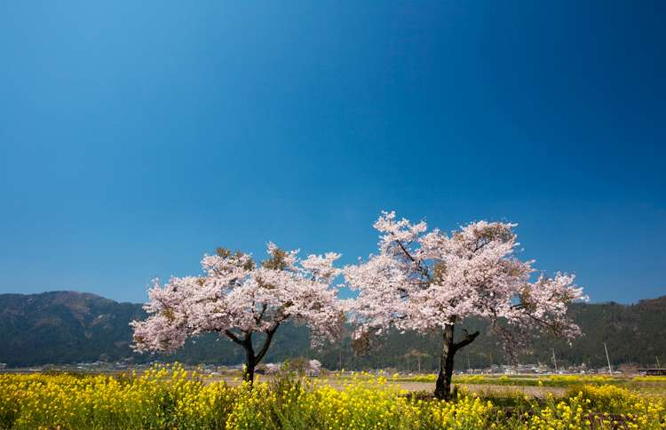 Guideposts: Two flowering trees in an open field, under a deep blue sky