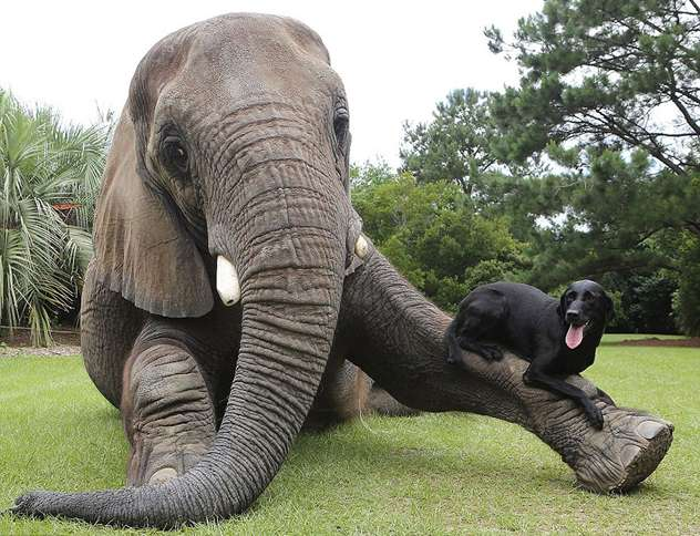 Bubbles the Elephant and Bella the Labrador