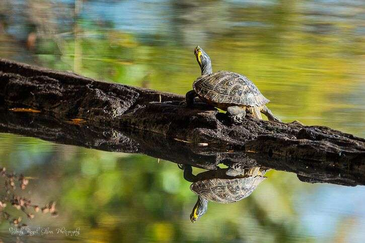 Guideposts: A turtle spends the morning sunning on a log at Sandy Creek Nature Park in Athens, Georgia.