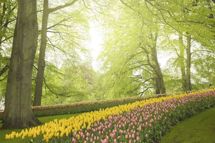 Guideposts: A row of pink and yellow tulips wind under and through a grove of sun-dappled trees.