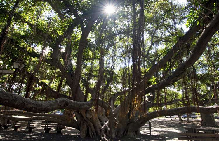 Guideposts: Maui's massive Banyan tree is one of the largest of its kind and takes over a block in downtown Lāhainā.