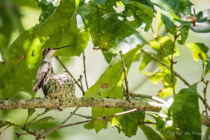 Guideposts: A female ruby-throated hummingbird snuggles with her babies in a nest the size of a walnut at the State Botanical Garden of Georgia.
