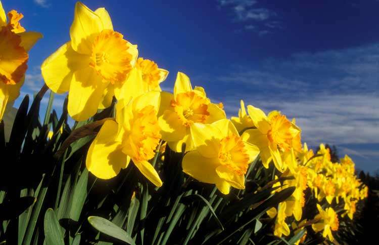 Guideposts: A field of daffodils
