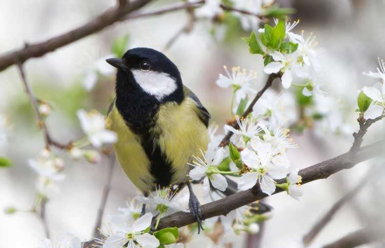 Guideposts: A Great Tit chirps as it perches upon a tree branch.