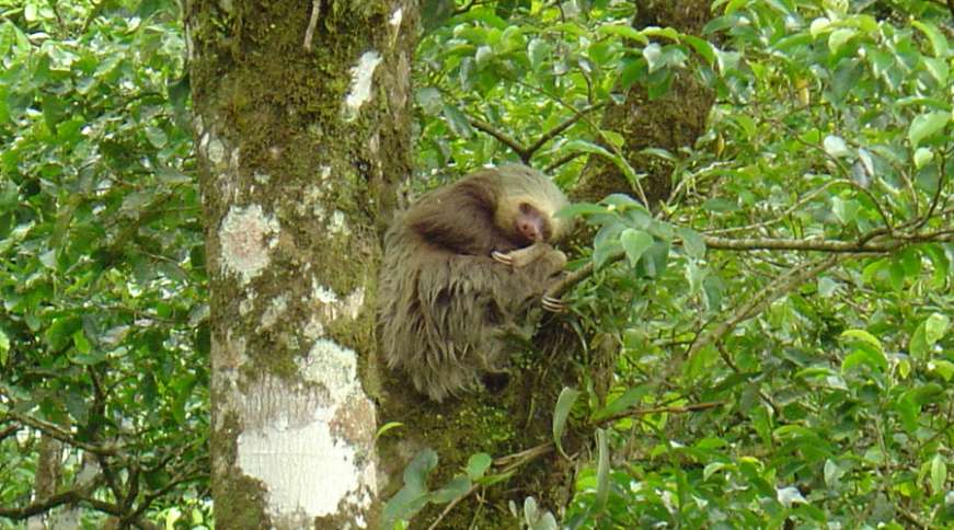 Sloth sitting in a tree in Guanacaste, Costa Rica