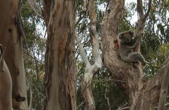 Looking for koala bears on Kangaroo Island, Australia. Sometimes you have to look hard to find what you want.