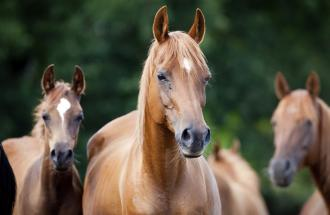 A group of guardian horses