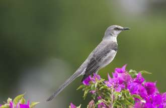 A mockingbird from heaven