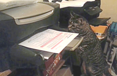 curious cat attacks printer