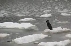 Dog floating on ice, stranded at sea