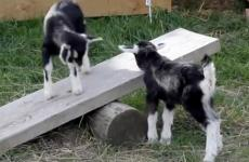 Baby goats on a backyard seesaw
