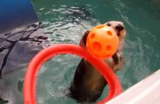 Eddie the sea otter goes for a slam dunk.