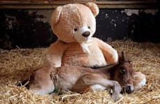 Teddy bear and orphaned foal snuggling
